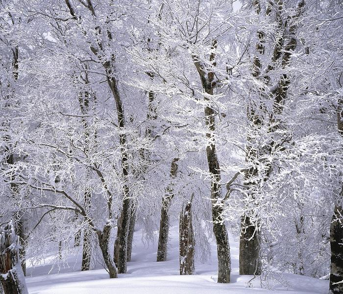 up close photo of snow covered trees in woods